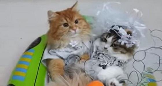 """فيديو طريف.. عرس مثالي للقطط """" بسبوس وسالي """""""