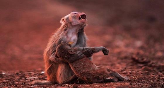 صورة لأم قرد مفجوعة بصغيرها المريض تحدث ضجة على مواقع التواصل