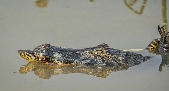 """بالفيديو.. """" أناكوندا """" تقتل تمساحا عملاقا بعد كسر أقدامه الأربعة"""