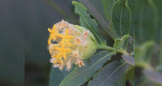 دراسة تكشف عن نبات يقضي على السمنة نهائيًا