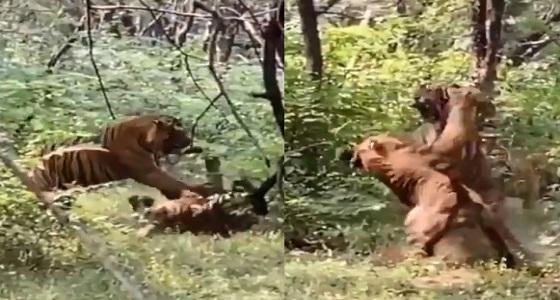 بالفيديو.. عراك عنيف بين نمرين في إحدى الغابات بسبب أنثى