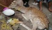 بالفيديو.. عرض «غزال» للبيع بأحد الأسواق في مكة