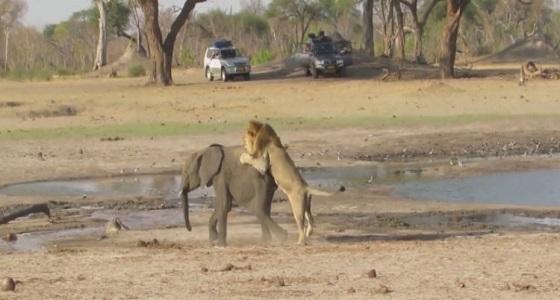 بالفيديو.. أسود تصطاد فيلا صغيرا في كمين محكم