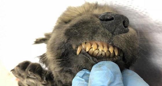 بالصور.. العثور على حيوان غريب مجمد عمره 18 ألف عام