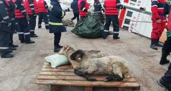 انتشال 254 ماشية حية من 15 ألف غرقت قبل وصولها للمملكة