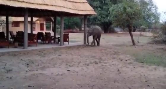بالفيديو.. فيلة جائعة تقتحم مطعمًا وتتناول إفطار الزبائن