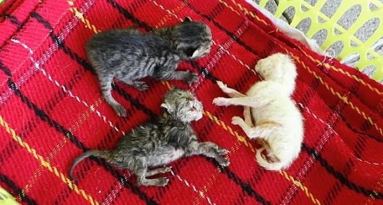 بالصور.. واقعة غريبة لولادة قطة برأسين