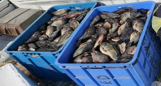 اتلاف اسماك فاسدة بنقطة تفتيش الشميسي بمكة