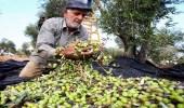 أزمة بين تونس والاتحاد الأوروبي بسبب «زيت الزيتون»