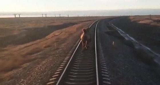بالفيديو.. جمل عنيد يُعيق سير قطارًا
