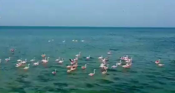 بالفيديو.. طيور «الفلامنجو» ترسم لوحة جمالية بجزيرة تاروت في الشرقية