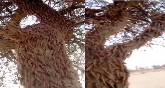 «الجراد» يُخفي شجرة (فيديو)