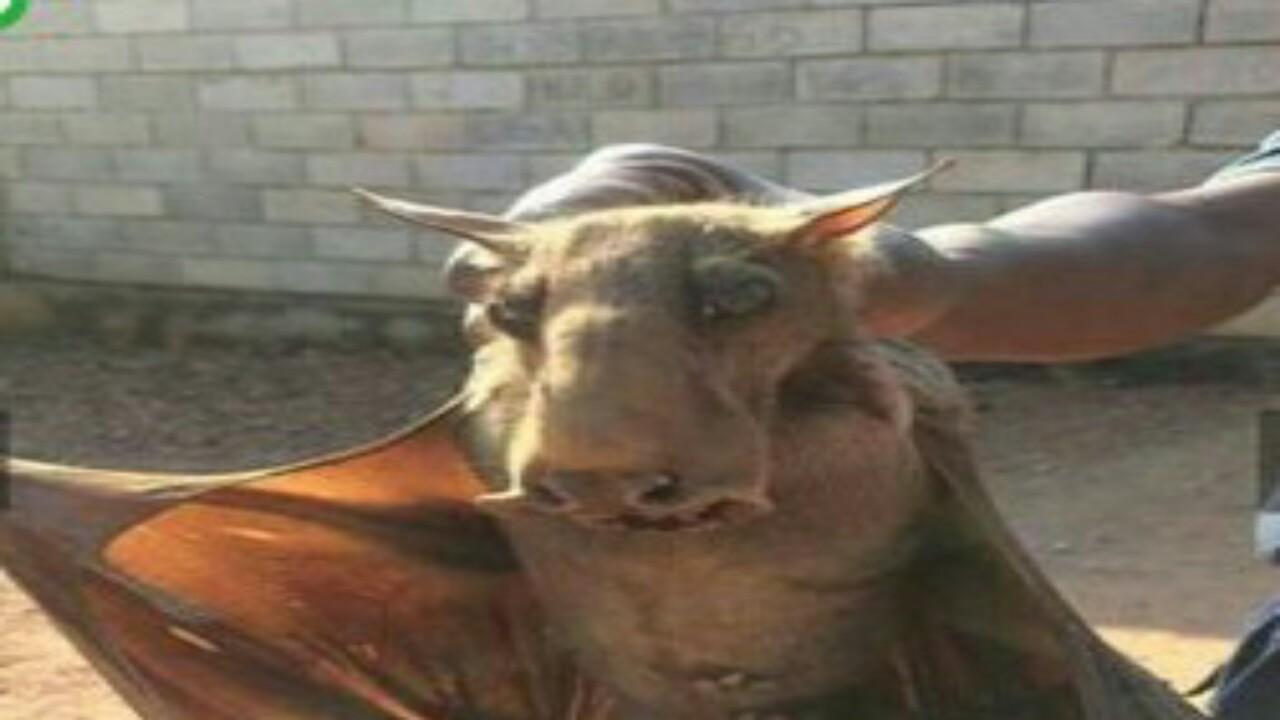 حقيقة أسراب الخفافيش التي هاجمت لبنان