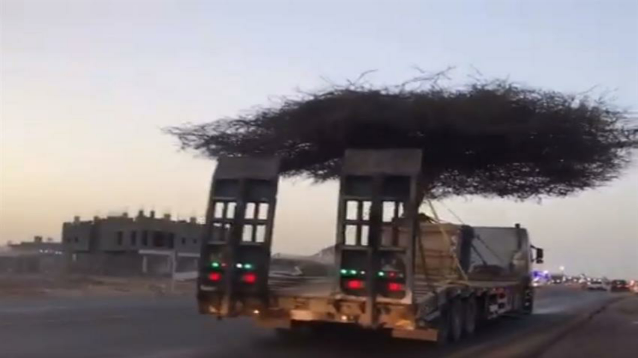 بالفيديو.. نقل شجرة سمر عتيقة إلى مكان آخر لحمايتها