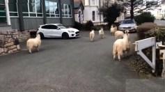 بالفيديو.. قطيع يستغل خلو الشوارع من البشر ليرتع بها