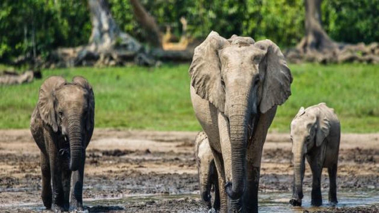 بالفيديو.. فيل ضخم يرتدي كمامة