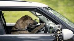 """توقيف سيارة يقودها """"كلب"""" بعد مطاردة عنيفة !"""