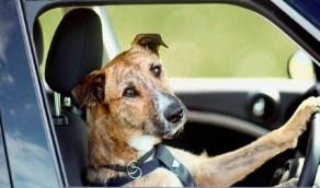 مخمور يترك قيادة السيارة لكلبه