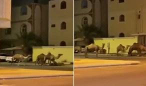 بالفيديو.. الإبل تتجول ليلا داخل أحياء مكة المكرمة