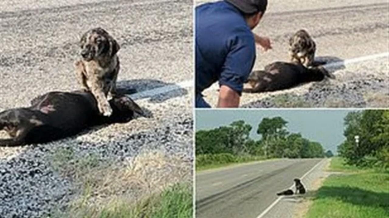 مشهد مبكي لكلب رفضترك جثة شقيقته على الطريق
