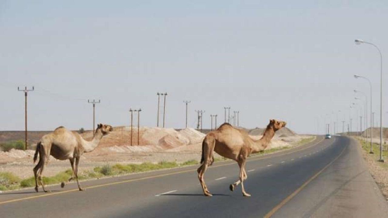 أمانة العاصمة المقدسة تصادر الإبل السائبة في مخططات جنوب مكة