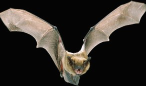 سر مناعة الخفافيش للفيروسات القاتلة للإنسان