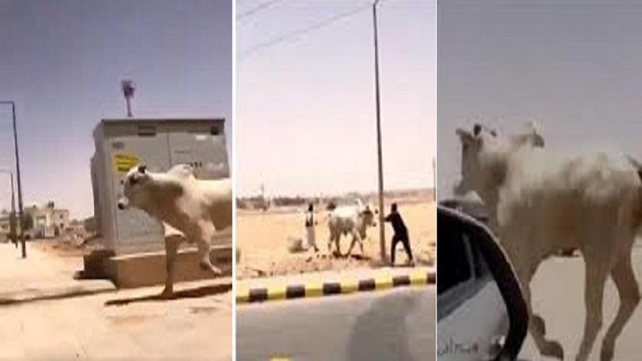 بالفيديو.. ثور هائج يهرب من مسلخ بالرياض