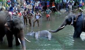 تفاعل غاضب بعد تفجير أنثى الفيل الحامل بثمار الاناناس
