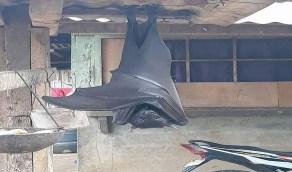 صور مذهلة لأضخم خفاش في العالم