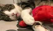 شاهد..قطة تتظاهر بالموت لترى محبة صاحبها لها