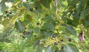أوراق شجرة «الكافور» تقضي على الفيروس في نصف ساعة