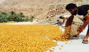 حقيقة إدخال البلح في أفران ليتمر قبل موسمه بالأحساء