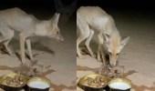بالفيديو.. مواطن يعطف على ثعلب أنهكه الظمأ والجوع