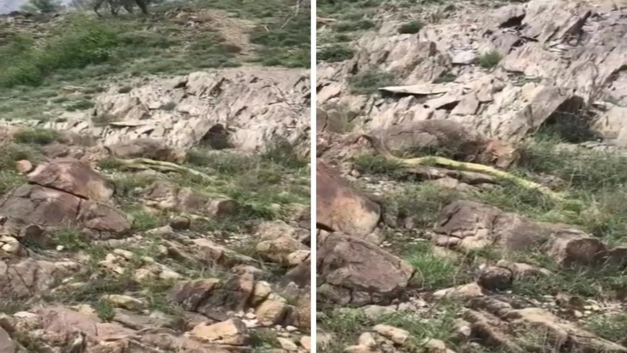 بالفيديو.. لحظة رصد ثعبان ضخم غريب الشكل بمنطقة جبلية