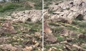 """تعليق """" مدني عسير """" على ظهور ثعبان ضخم بمنطقة جبلية"""