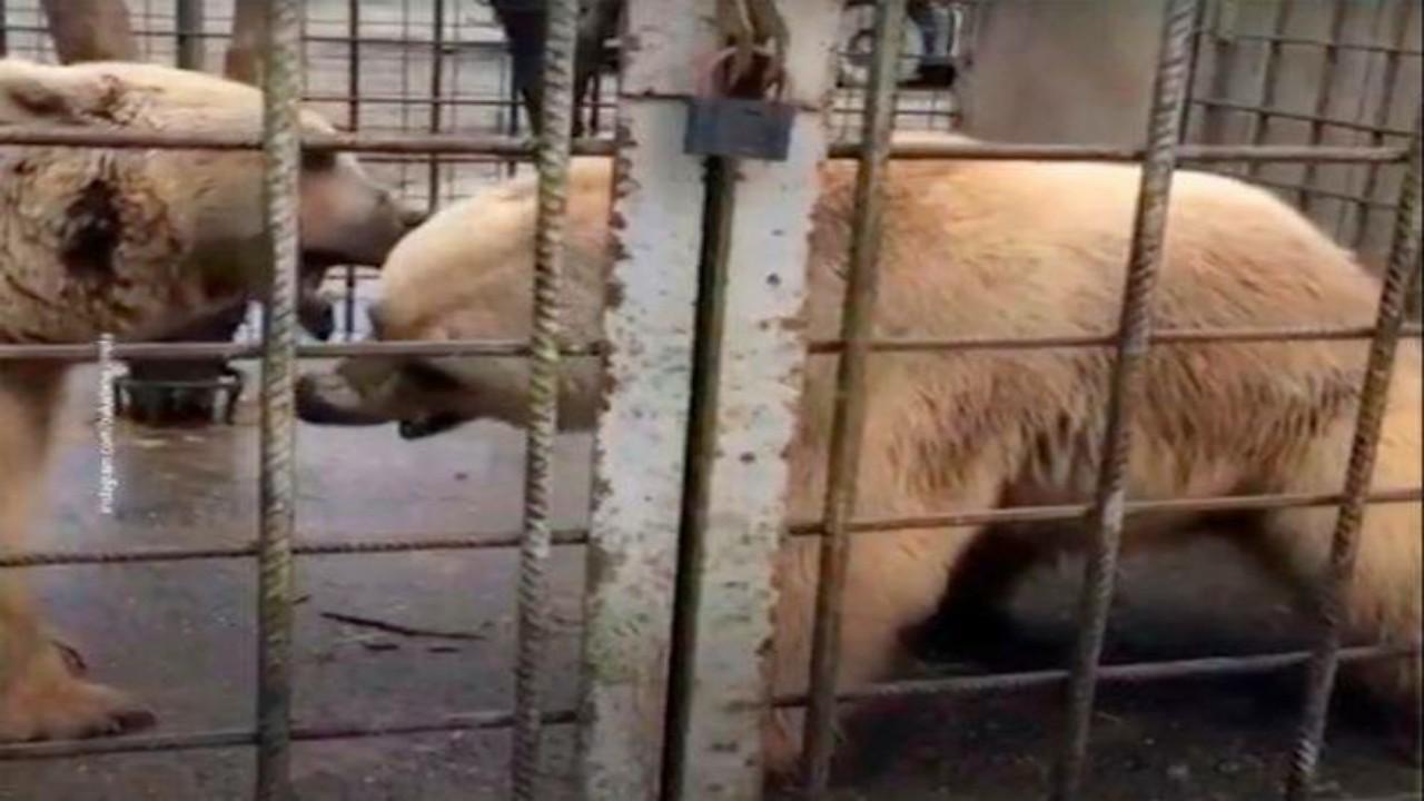 مصرع طفل أثناء لهوه مع الدببة في منتجع