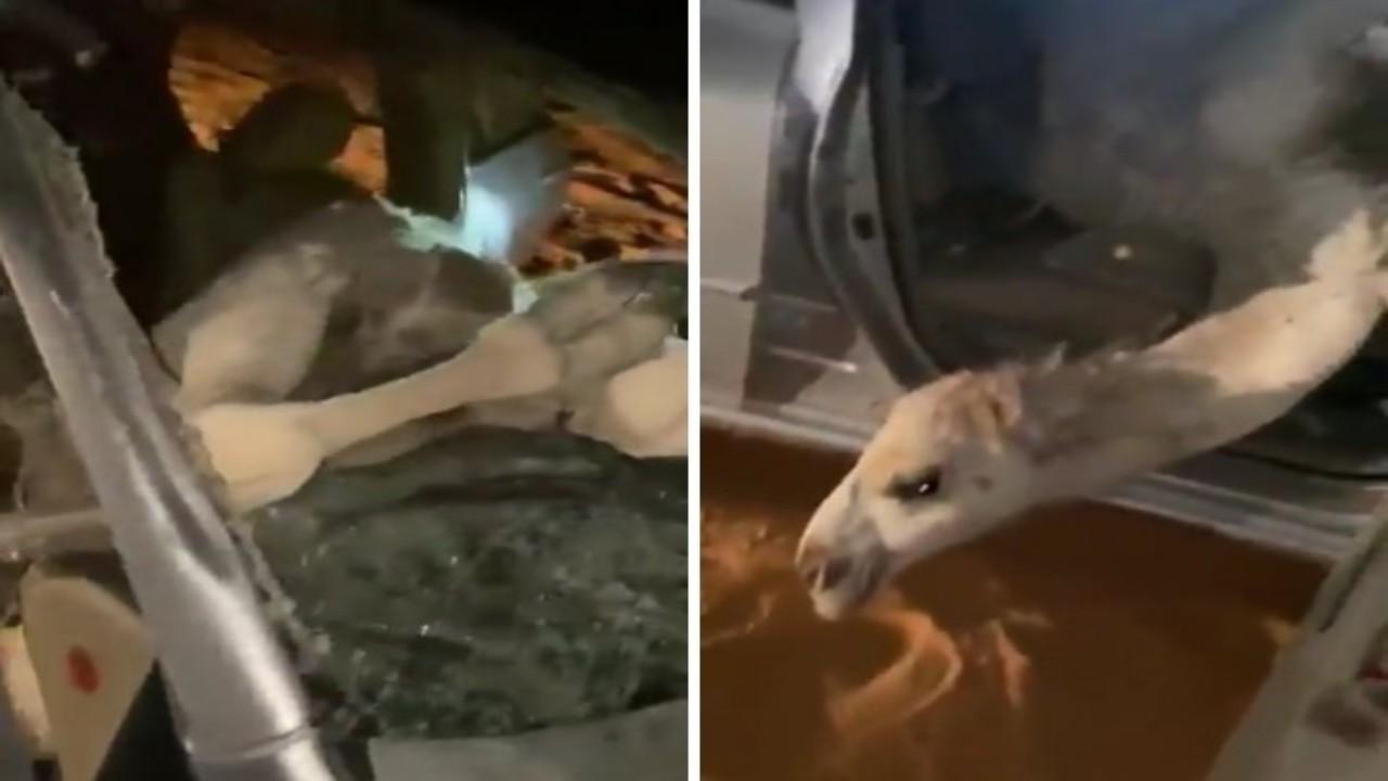 بالفيديو.. إبل سائبة تصطدم بمركبة بطريقة مروعة في حائل
