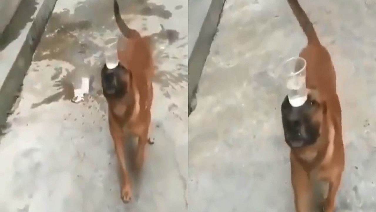 بالفيديو.. كلب يحمل كأس مملوء بالماء على رأسه دون أن يسقط