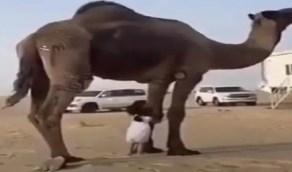 فيديو خطير لطفلة تلهو بمفردها أسفل جمل ضخم