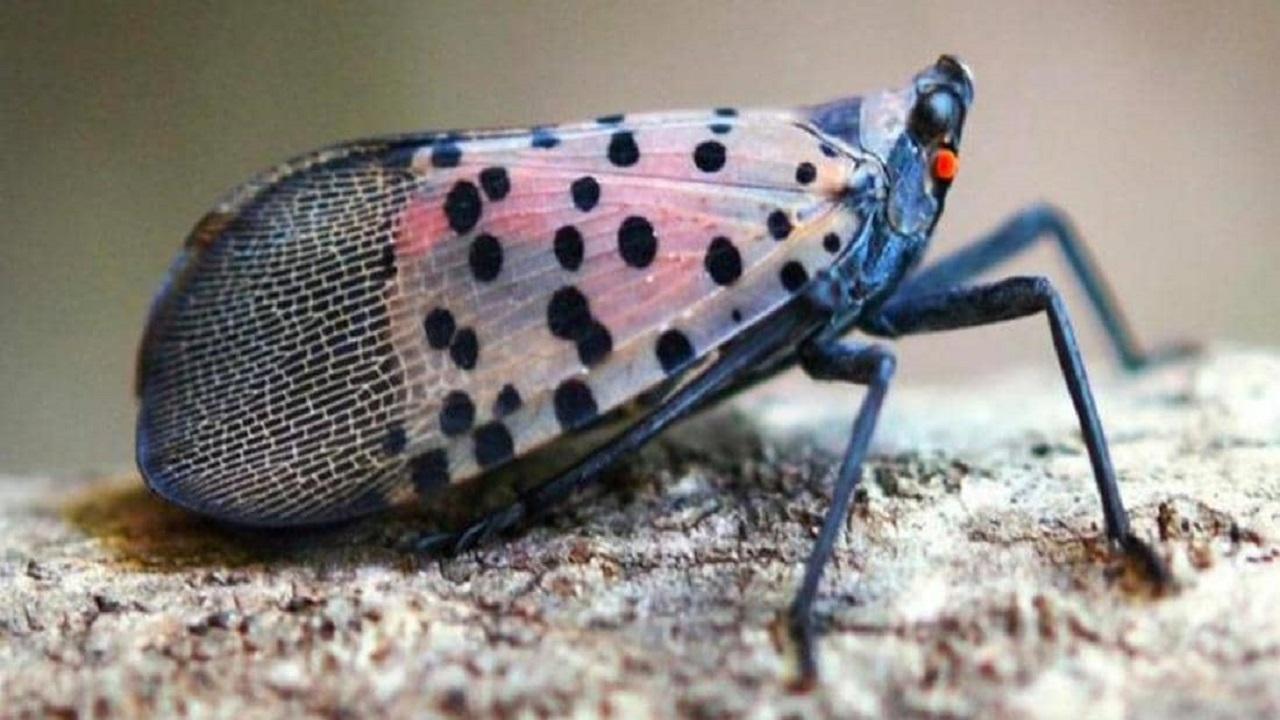 حشرة آسيوية غريبة تثير الرعب في أمريكا