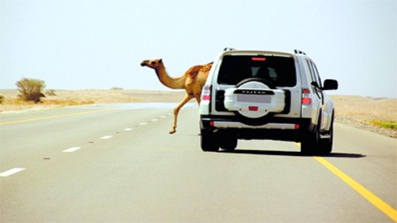 10 آلاف ريال غرامة عبور الحيوانات السائبة من غير الأماكن المخصصة