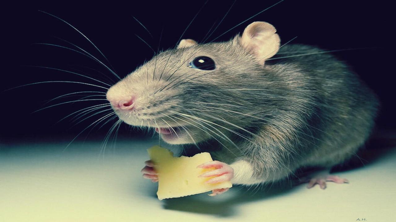 سيدة تنتقم من زوجها بإفقاده رجولته بسبب فأر