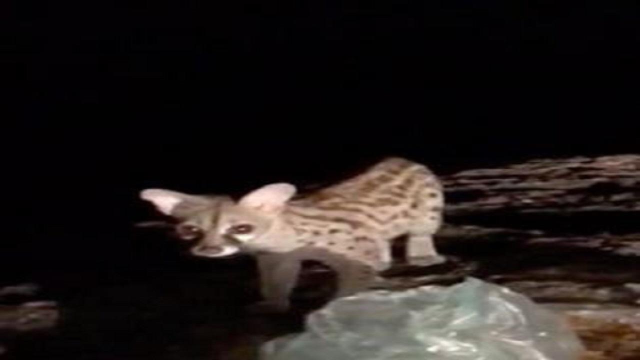 حقيقة ظهور حيوان نادر مهدد بالانقراض في المملكة