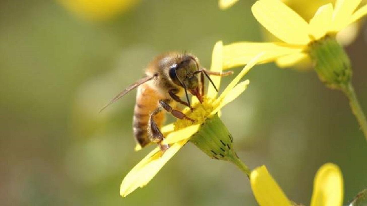 دراسة: سم النحل يبطئ نمو الخلايا السرطانية