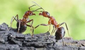 """رجل يستغل الجائحة ويؤسس مشروعًا لبيع """" النمل """"!"""