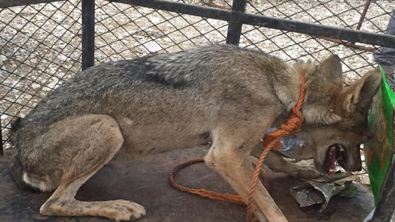 مواطن يصطاد أنثى ذئب بدون سلاح