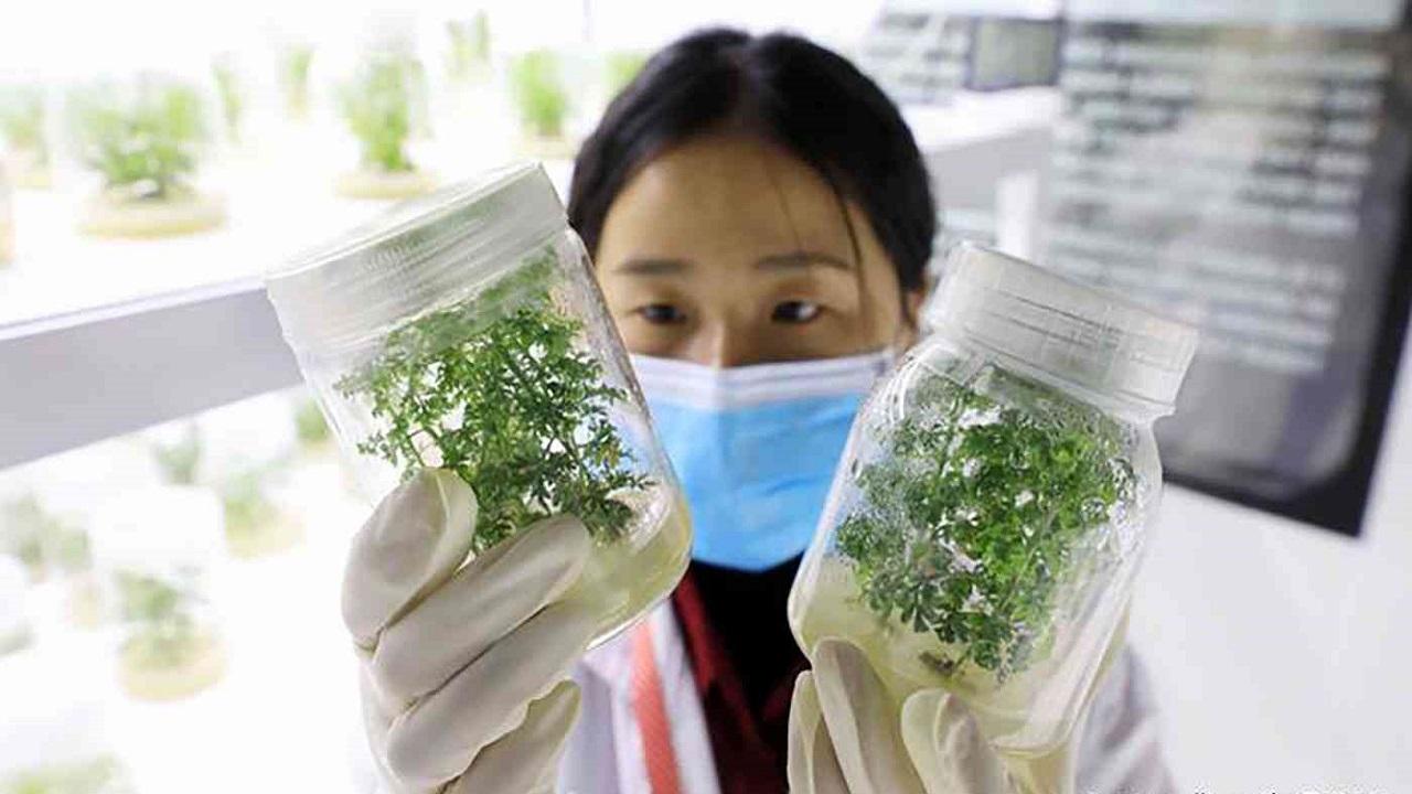 """بعد الترويج لـ """" الشيح """" الصحة العالمية تجرب علاج كورونا بالأعشاب"""