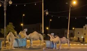 بالفيديو.. إبل سائبة تلتقط الطعام من حاوية قمامة في نجران