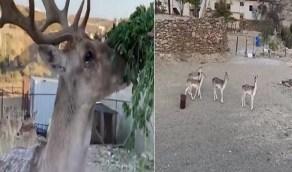 بالفيديو.. مواطن يحول هوايته في تربية الغزلان لمشروع ناجح بالباحة
