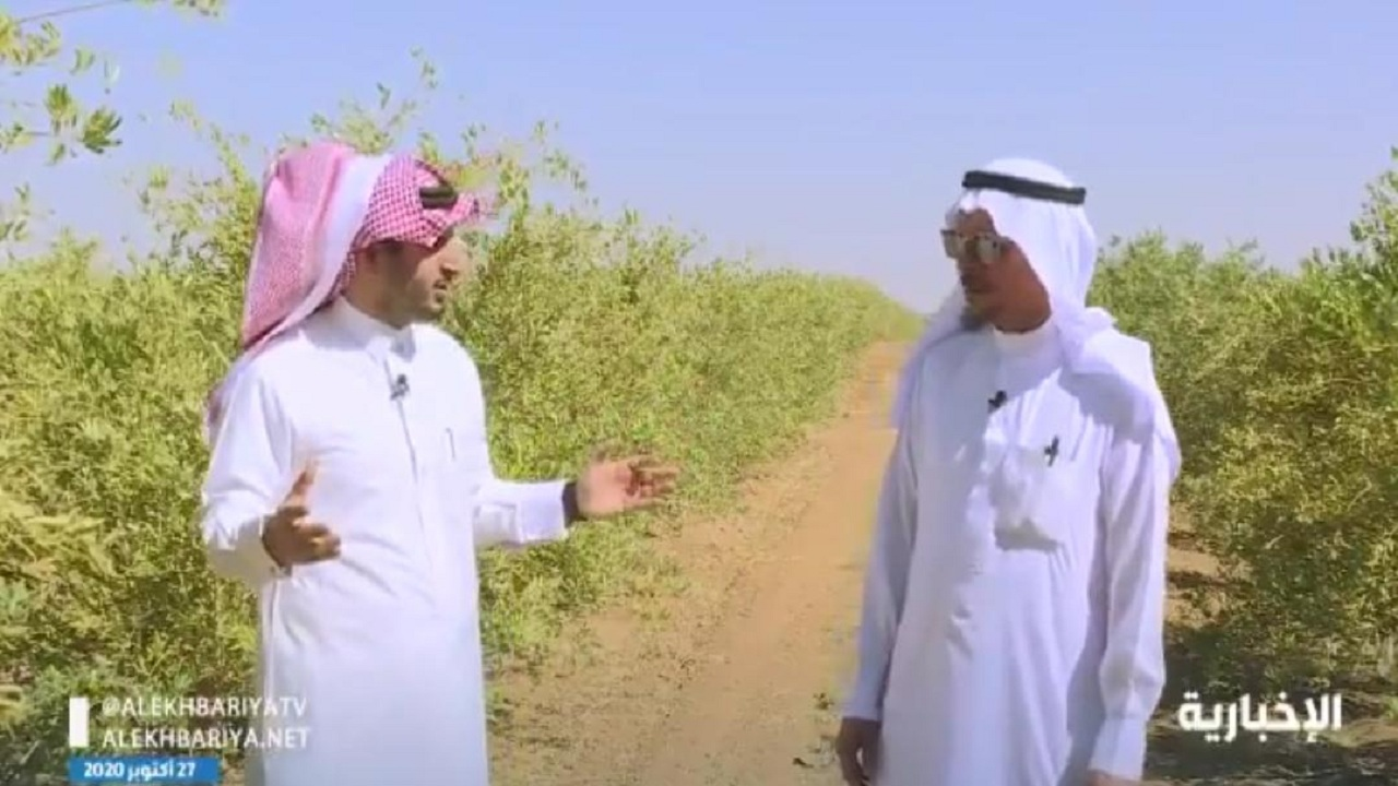 بالفيديو.. قصة مواطن ترك الاستثمار في الأعلاف لزراعة الزيتون وينجح في مشروعه